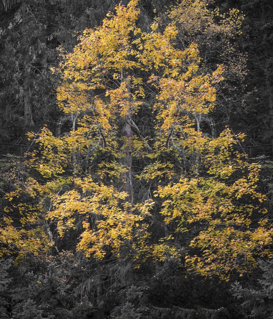 Дърво в есенна премяна